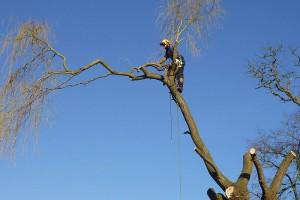 elagage arbre sur Casson